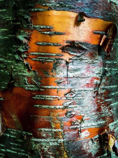 Photograph - Red Birch by Terri Hart-Ellis