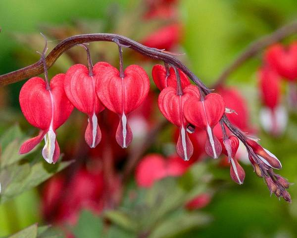 Photograph - Red Bleeding Hearts by Susan Rydberg