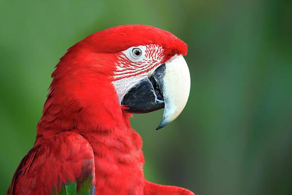 Macaw Photograph - Red Blue And Green Macaw Ara Chloroptera by Tier Und Naturfotografie J Und C Sohns