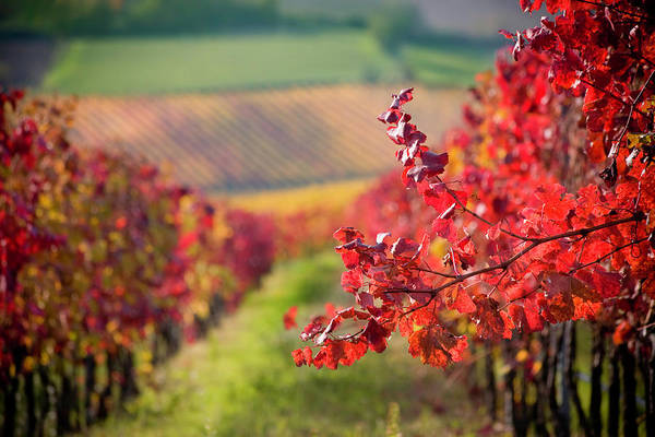 Photograph - Red Branch by Naphtalina