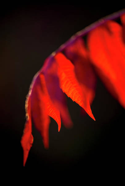 Photograph - Red Bud Leaves, Cercis Canadensis by Karen Rispin