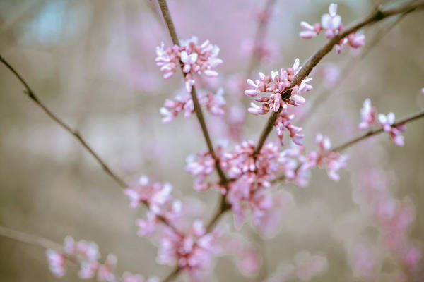 Photograph - Red Buds by Michelle Wermuth