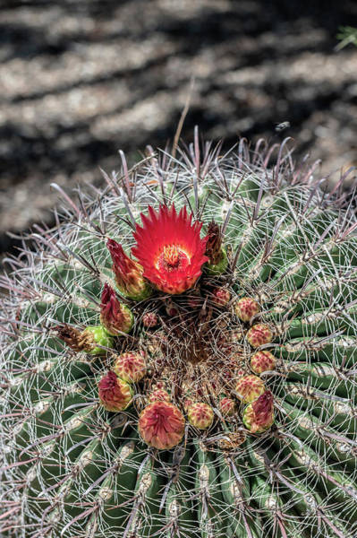 Photograph - Red Cactus Flower by Douglas Killourie