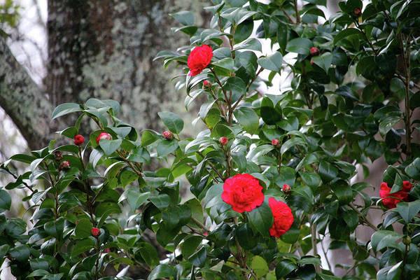 Photograph - Red Camellia  by Cynthia Guinn