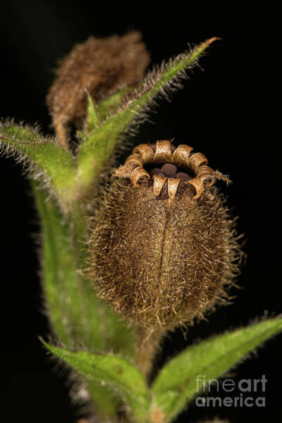 Photograph - Red Campion Seed Head by Brian Roscorla
