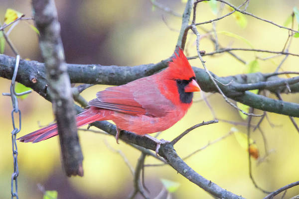 Photograph - Red Cardinal Eating At The Feeder by Alex Grichenko
