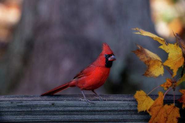 Photograph - Red Cardinal In Fall Yellow Leaves by Dan Friend