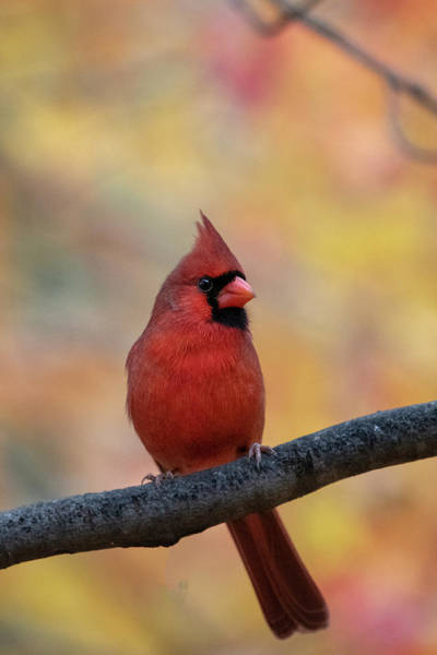 Photograph - Red Cardinal In Front Of Fall Foliage In Nature by Dan Friend