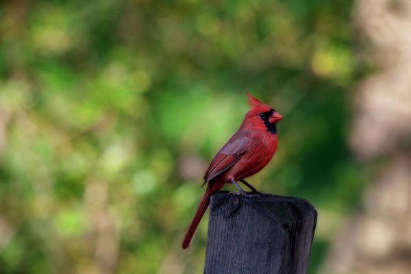 Photograph - Red Cardinal On Fence Post by Dan Friend