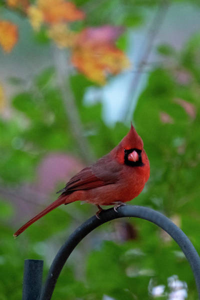 Photograph - Red Cardinal On Iron Grate by Dan Friend