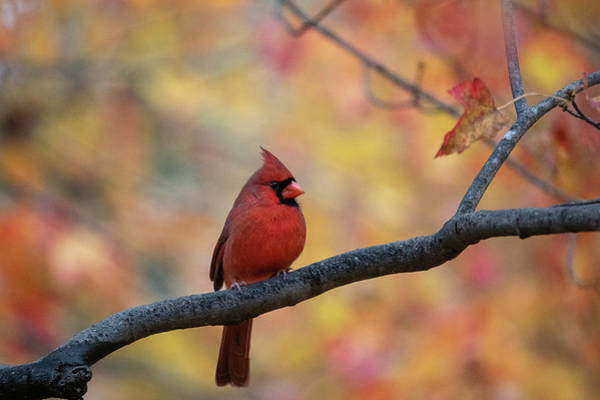 Photograph - Red Cardinal Perched On Limb by Dan Friend