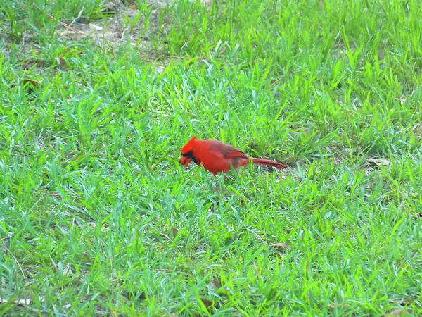 Photograph - Red Cardinal Visitor From Heaven by Matthew Seufer