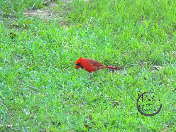 Photograph - Red Cardinal Visitor  by Matthew Seufer