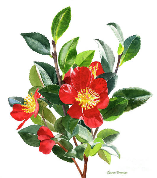 Wall Art - Painting - Red Christmas Camellias by Sharon Freeman