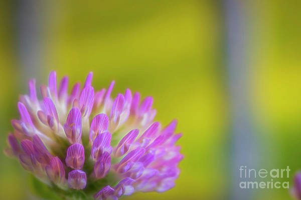 Wall Art - Photograph - Red Clover 3 by Veikko Suikkanen