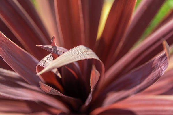 Photograph - Red Cordyline by Scott Lyons