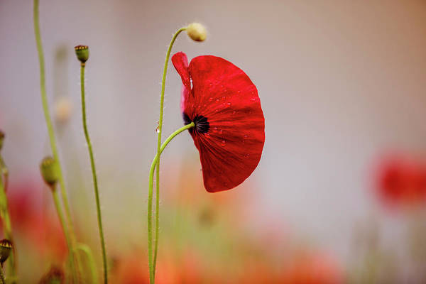 Day Dream Photograph - Red Corn Poppy Flowers by Nailia Schwarz