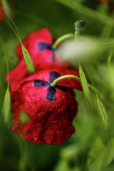 Red Green Photograph - Red Corn Poppy Flowers With Dew Drops by Nailia Schwarz