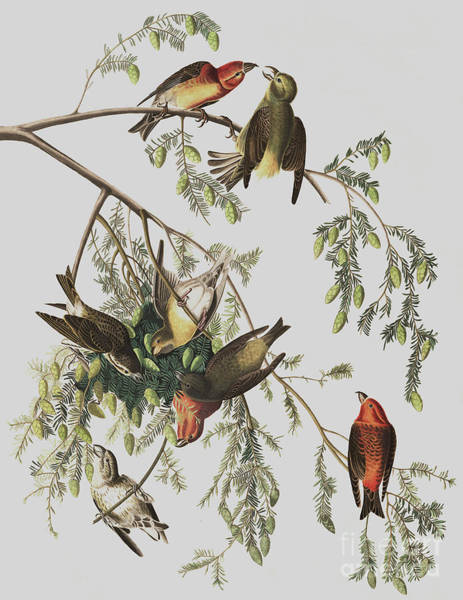 Painting - Red Crossbill, Loxia Curvirostra By Audubon by John James Audubon