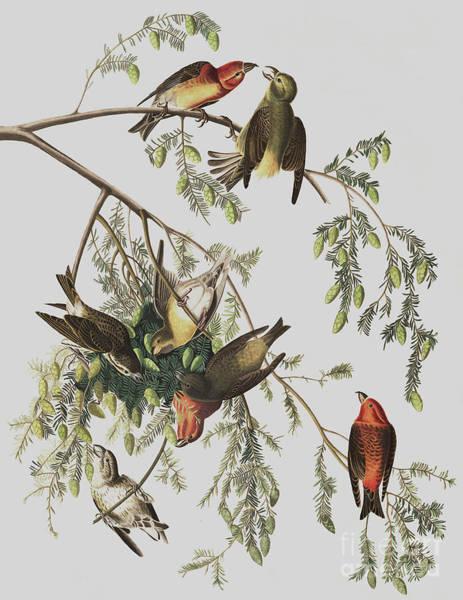 Wall Art - Painting - Red Crossbill, Loxia Curvirostra By Audubon by John James Audubon