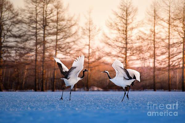 Wall Art - Photograph - Red Crowned Crane Kushiro Hokkaido Japan by Auttapon Nunti