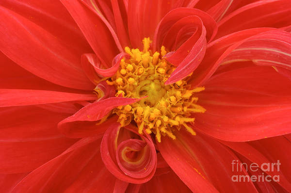 Wall Art - Photograph - Red Dahlia Close Up by Imageman