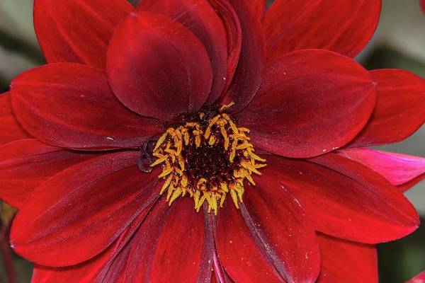 Wall Art - Photograph - Red Dahlia Flower Closeup by Marlin and Laura Hum