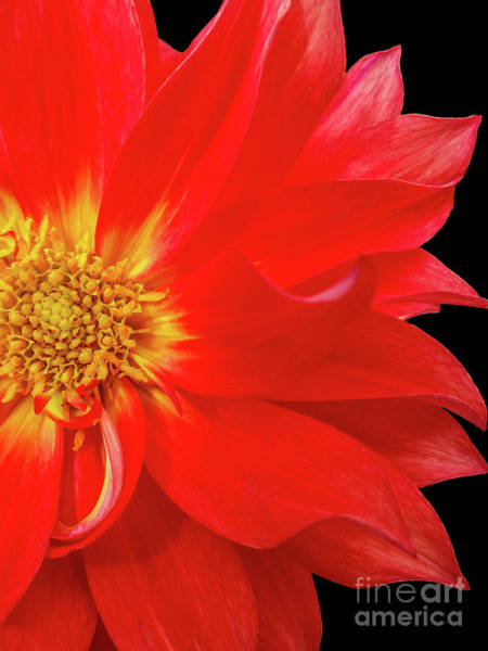 Photograph - Red Dahlia On Black Background by Tony Baca