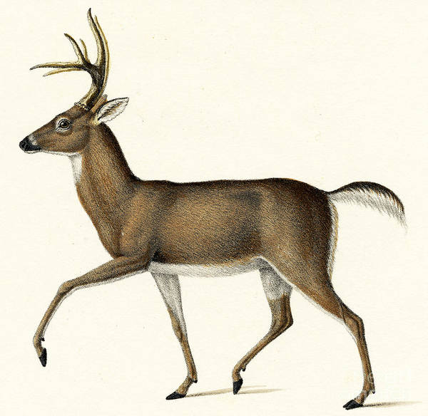Wall Art - Painting - Red Deer, 1824 Colour Litho by Karl Joseph Brodtmann