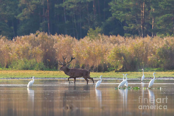 Photograph - Red Deer And Egrets In Lake by Arterra Picture Library