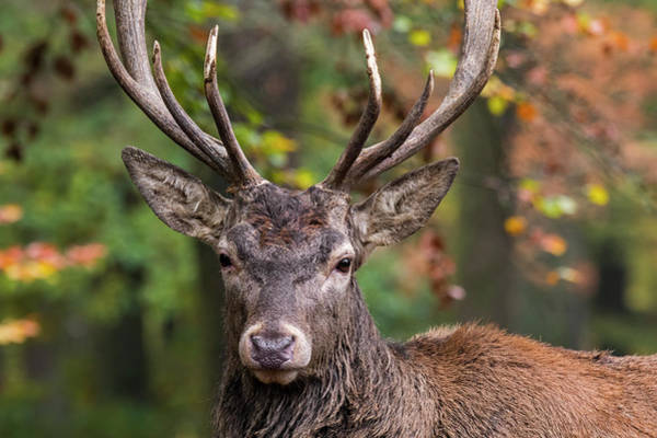 Photograph - Red Deer by Arterra Picture Library