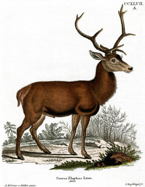Antlers Drawing - Red Deer Circa 19th Century Colored Engraving by German School