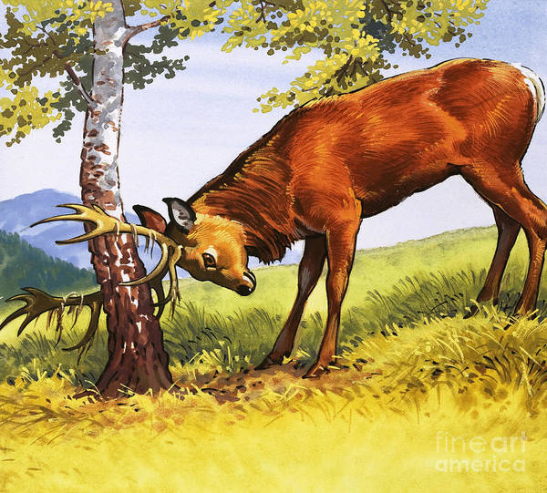Wall Art - Painting - Red Deer Cleaning Antlers by English School