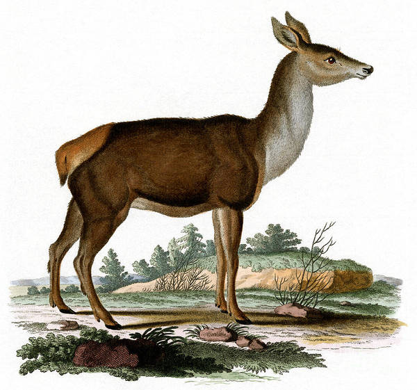 Wall Art - Painting - Red Deer Colored Engraving by German School