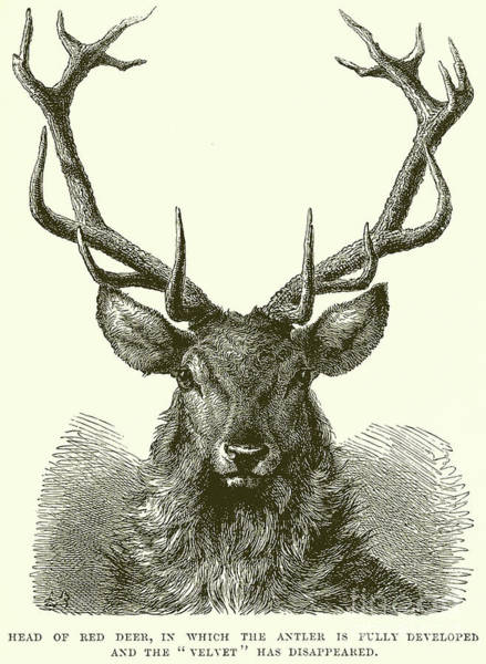 Antlers Drawing - Red Deer Head by English School