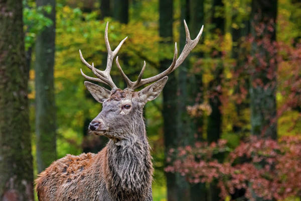 Photograph - Red Deer In Forest by Arterra Picture Library