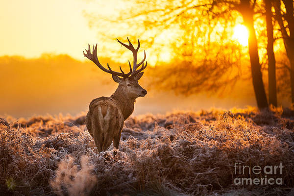 Heather Wall Art - Photograph - Red Deer In Morning Sun by Arturasker