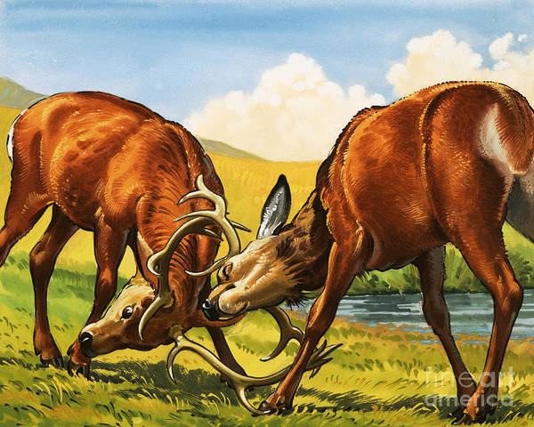 Wall Art - Painting - Red Deer Rutting by English School