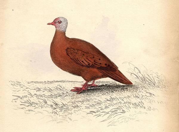 Dove Digital Art - Red Dove by Hulton Archive