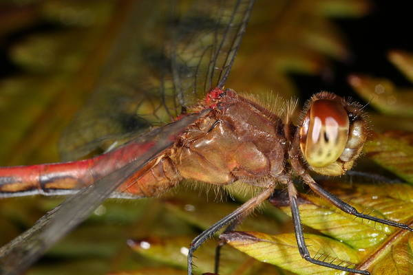 Photograph - Red Drangonfly 9011401 by Rick Veldman