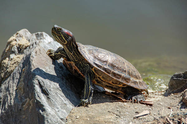 Photograph - Red-eared Slider Turtle by Jennifer Wick