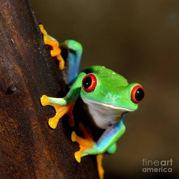 Vines Wall Art - Photograph - Red-eye Frog  Agalychnis Callidryas In by Aleksey Stemmer