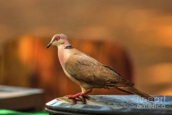 Photograph - Red Eyed Dove by Benny Marty