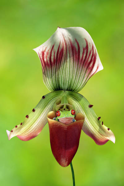 Wall Art - Photograph - Red-eyed Tree Frog In Slipper Orchid by Gail Shumway