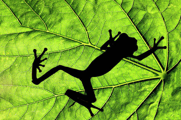 Wall Art - Photograph - Red-eyed Tree Frog Silhouetted by Adam Jones