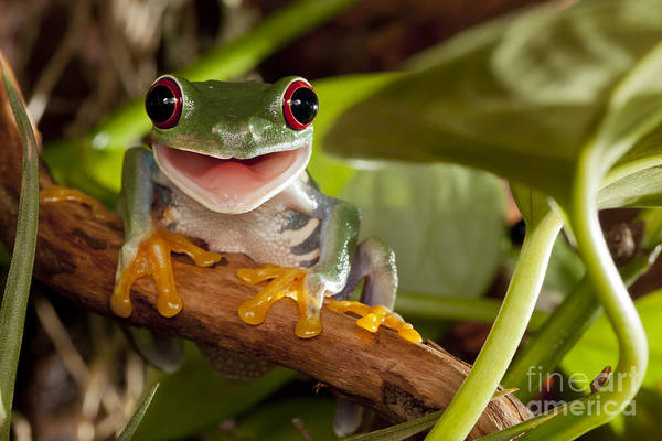 Wall Art - Photograph - Red-eyed Tree Frog Smile by Linas  T