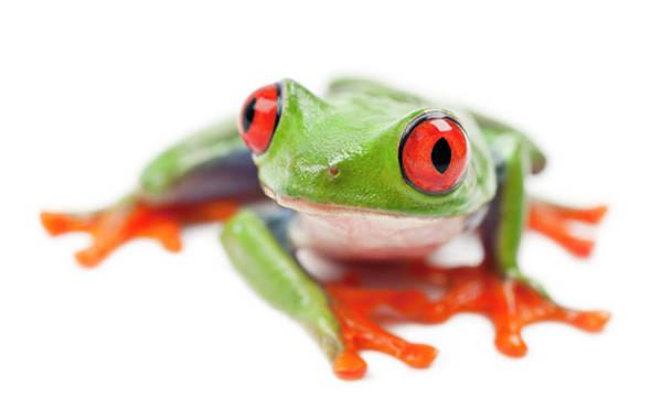 Belgium Photograph - Red-eyed Treefrog, Agalychnis Callidryas by Life On White
