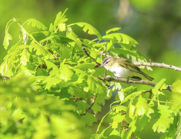 Wall Art - Photograph - Red Eyed Vireo by Dan Sproul