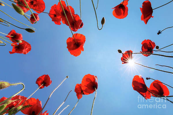 Photograph - Red Field Poppies by Arterra Picture Library