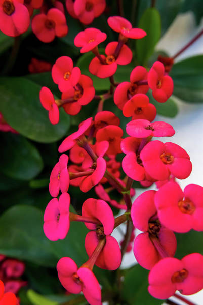 Photograph - Red Flowers In Bloom by Tita She